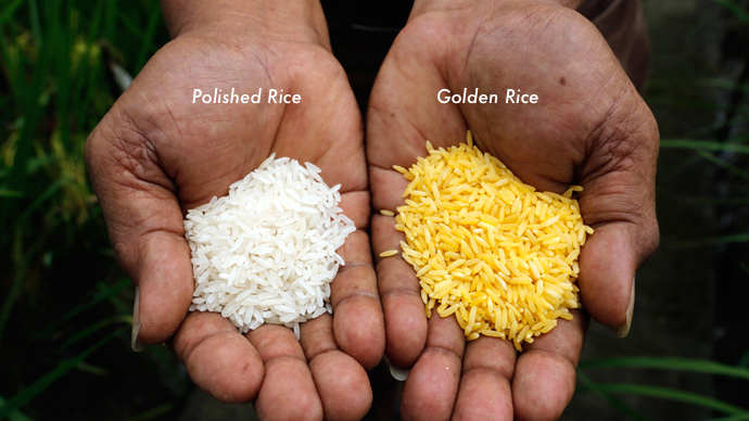 golden rice 2_